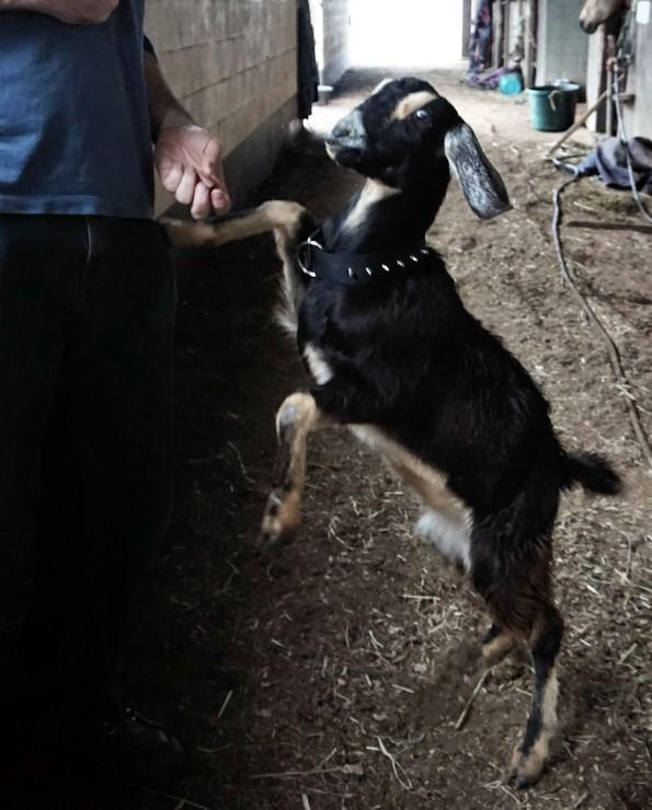 begging goat