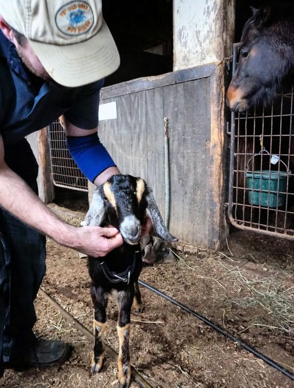 horse goat