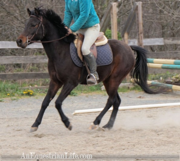 german riding pony canter