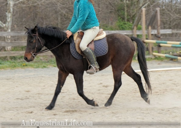 german riding pony trot
