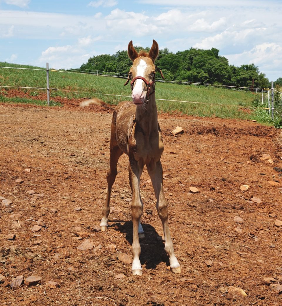 champagne warmblood foal