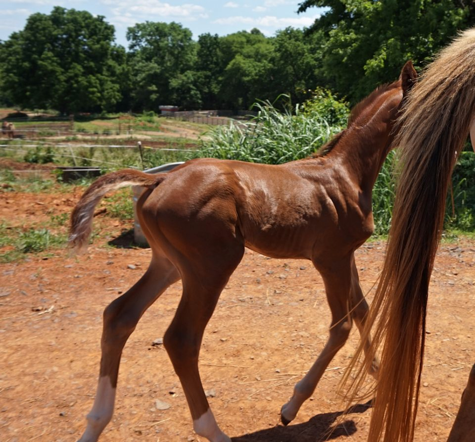 warmblood colt chestnut