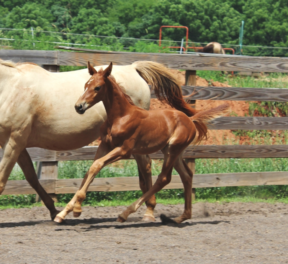 foal canter