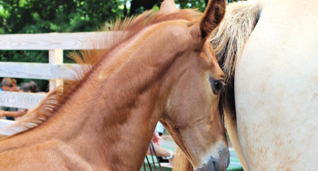 warmblood horse breeders