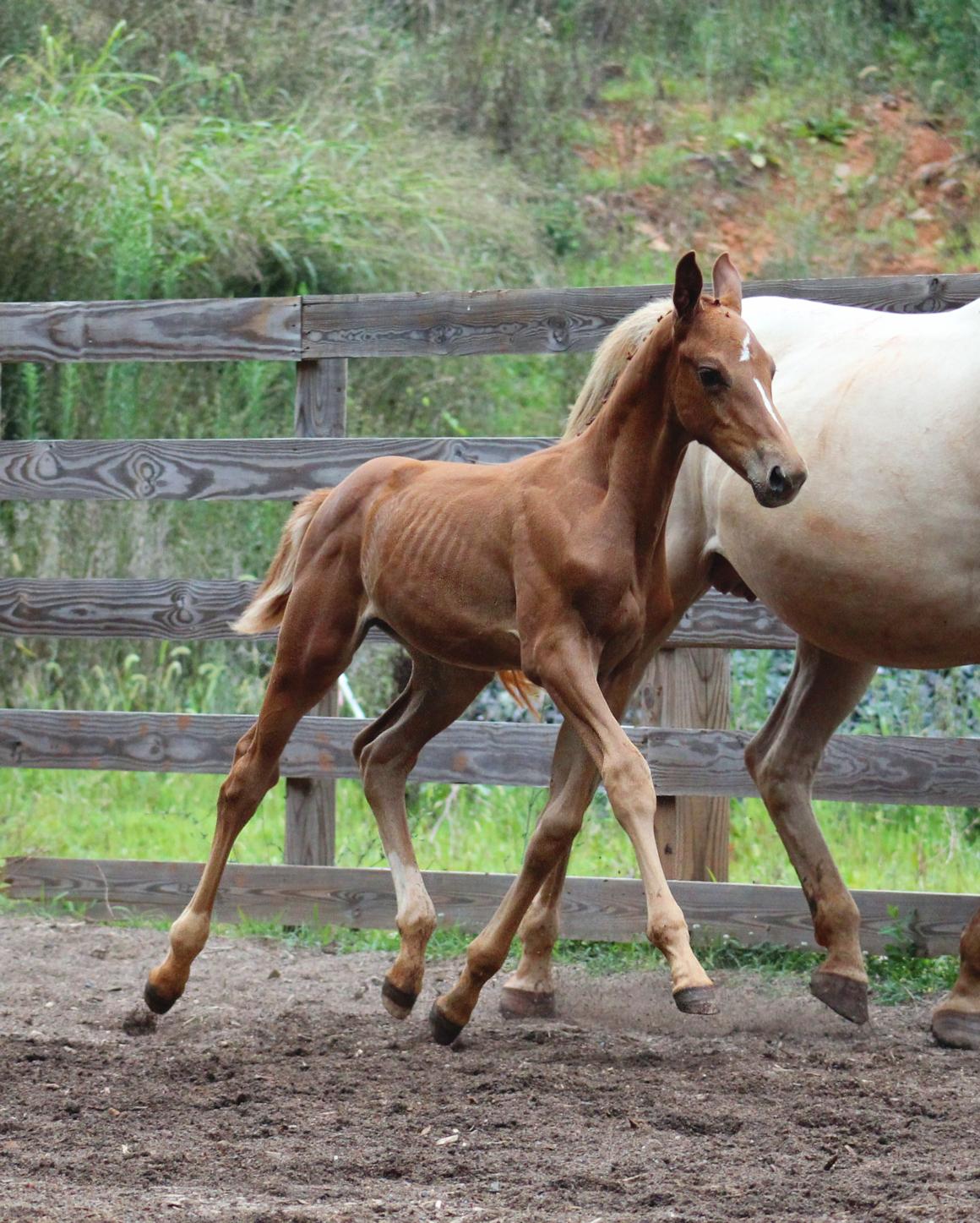foal trot