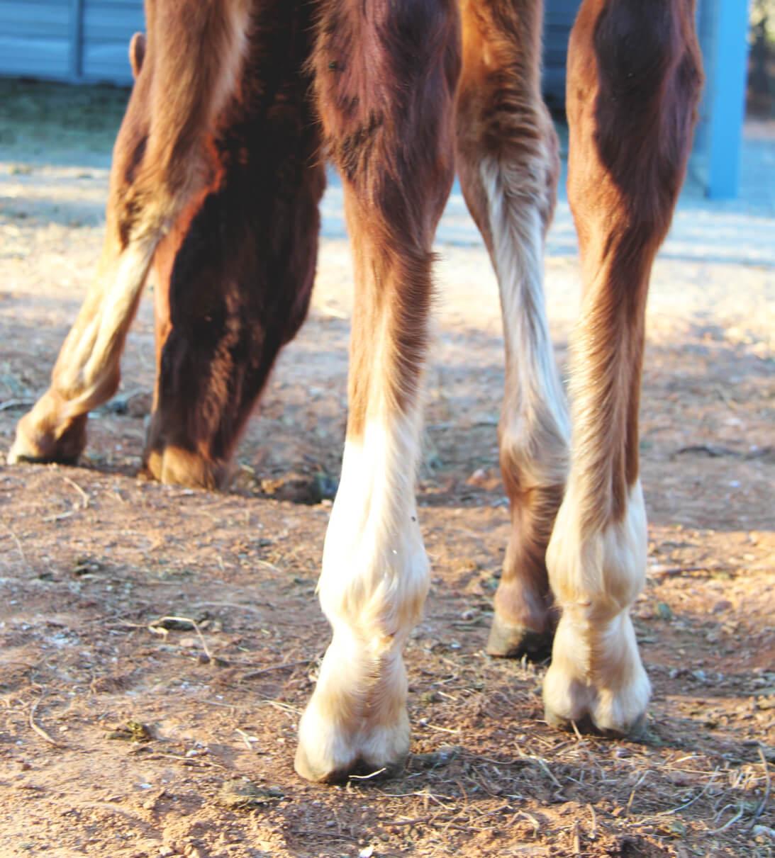 horse hind legs