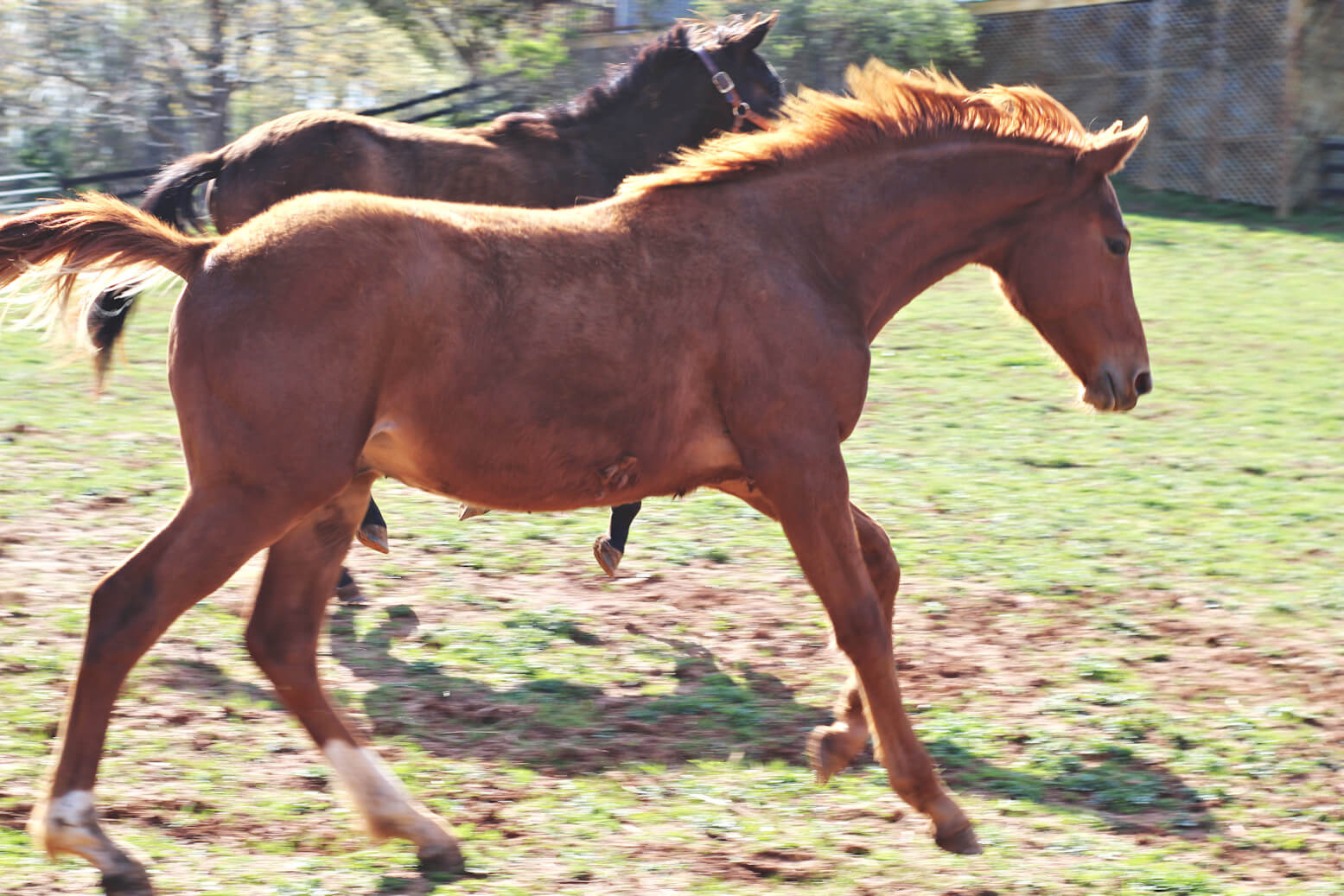 westfalen yearling