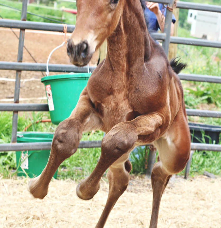 warmblood foal