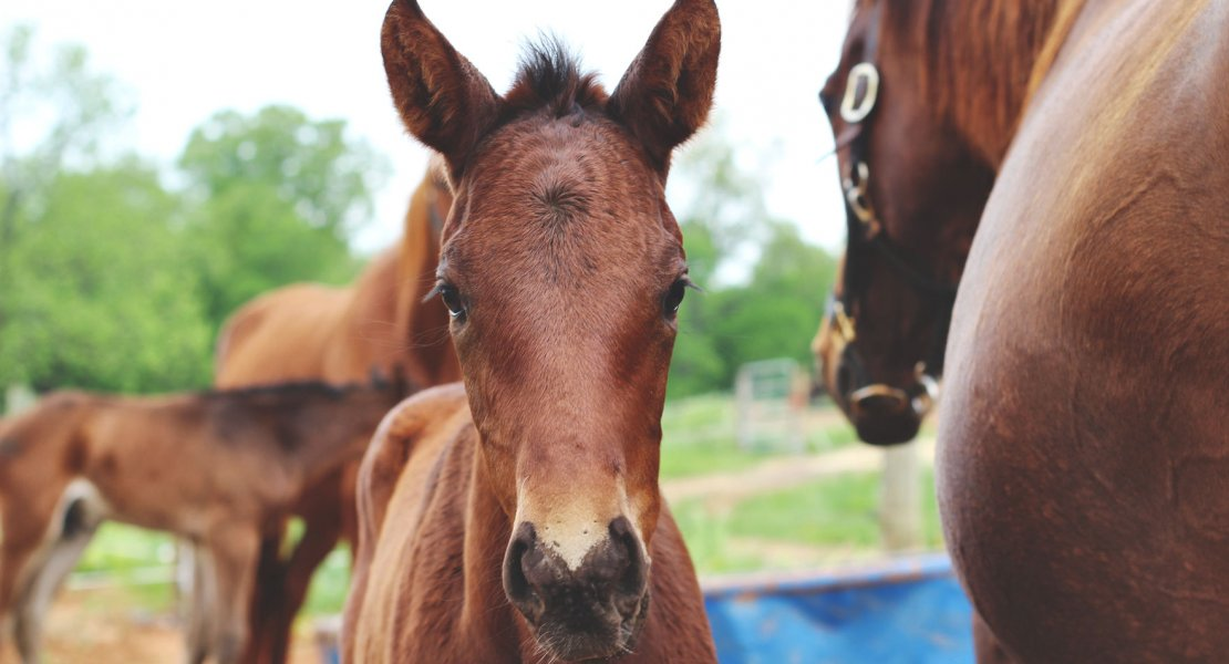 warmblood foals