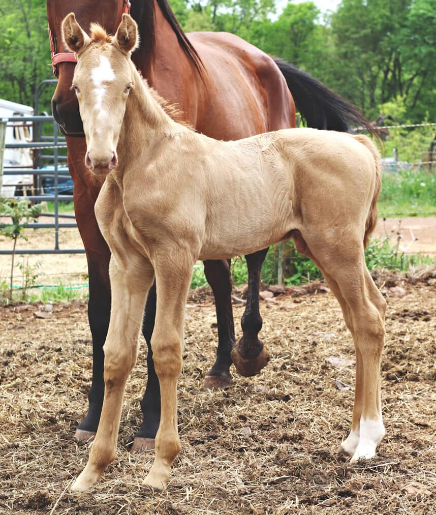 westfalen horse