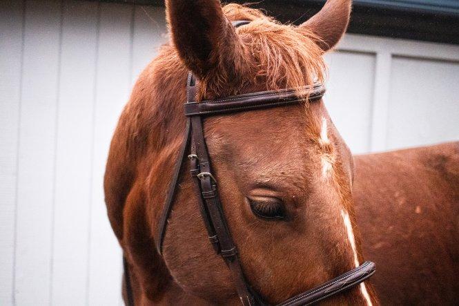 bridled horse head