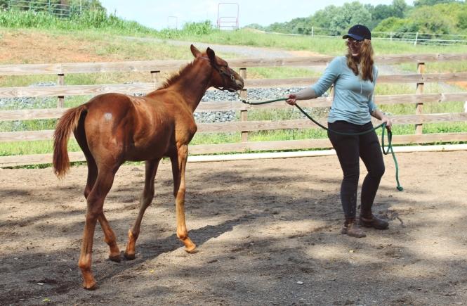 westfalen foal