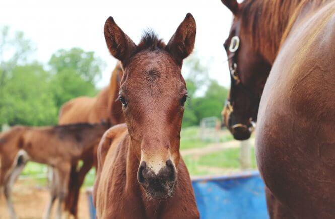 warmblood foals